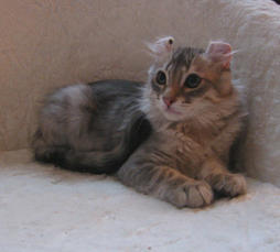 American Curl cat with funny ears
