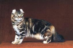 American Curl cat with tiger look