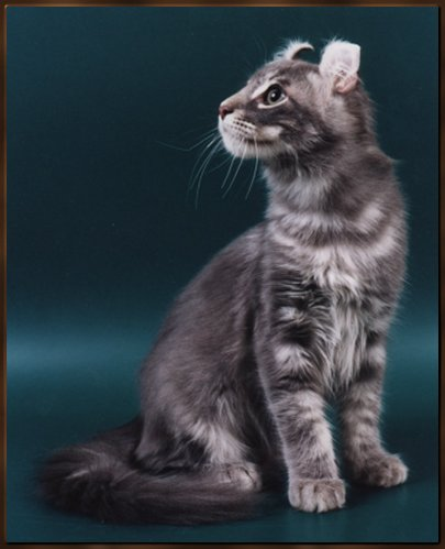 American Curl kitten in gray with white stripes
