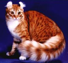 americancurl cat with bush tail