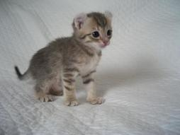 small young American Curl kitten