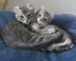 two American Curl kittens