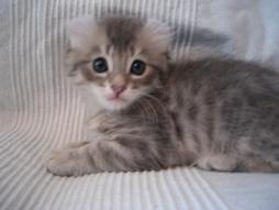 young American Curl kitten in gray with white stripes