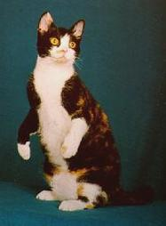 American Wirehair cat standing up