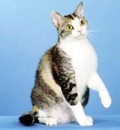 American Wirehair cat with white stomach