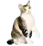 American Wirehair cat_cute