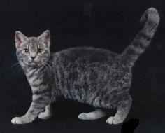 American wirehair in gray and black