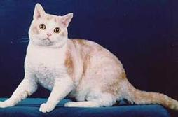 American Wirehair in tan and white