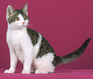 American Wirehair kitten in white and black gray
