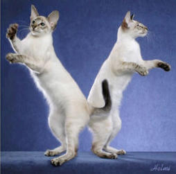 Balinese Cats Gallery