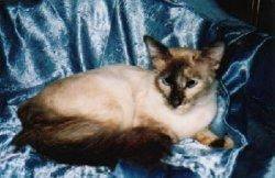Balinese cat in beige and chocolate