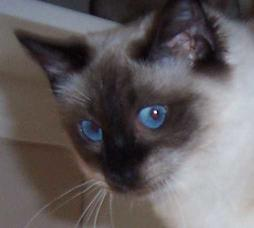 Balinese cat with blue eyes
