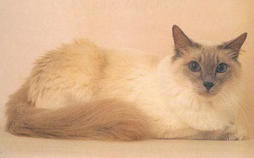 Beige and tan Balinese cat