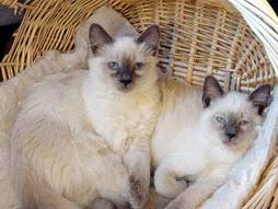 Beige Balinese cats with chocolate ears