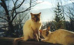 Two Balinese cats in nature
