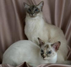 two Balinese cats