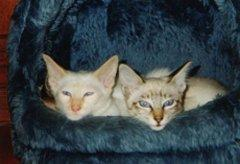 Two Balinese kittens