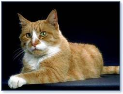 America shorthair cat in tan with white spots