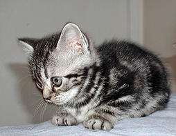 America shorthair kitten in white gray with black stripes