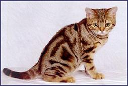 American short hair kitten in tan and brown
