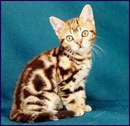 American short hair kitten with tiger look alike