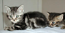 American short hair kittens picture