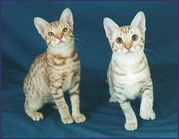 American short hair kittens
