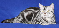 American Shorthair cat in black gray and white