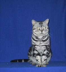 American Shorthair cat in black with white stripes