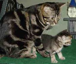 American shorthair cat with its kitten