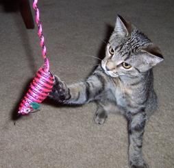 American Shorthair kitten playing