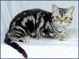 Picture of American short hair cat