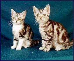 picture of American short hair kittens