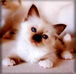 Baby Birman in cream and brown
