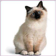 Birman Cats Picture