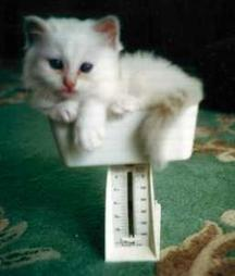 Baby Birman on scale