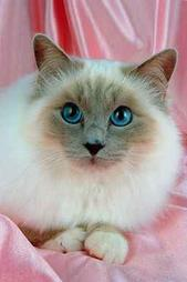 Beautiful Birman cat