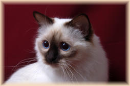 Beautiful Birman face