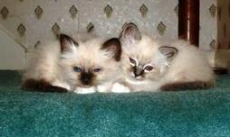 Birman breeders