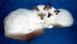 Birman cat and kitten