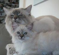 Birman cat and kitten_Birman breeds