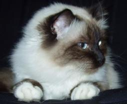 Birman cat face