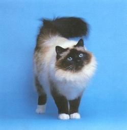 Birman cat in black, tan and white