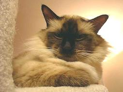 Birman cat in dark cream and brown