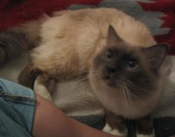 Birman cat in light brown