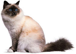 Birman cat in three colors