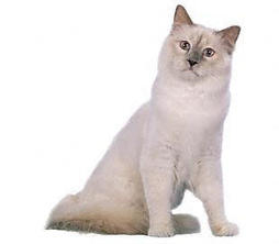 Birman cat in white and beige