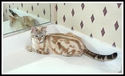 Beige and brown Bengal cat