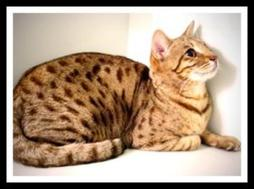 Bengal cat in gold with brown dots