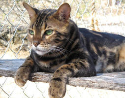 Bengal cat in tan brown with big black stripes